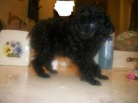 Beautiful little tiny teacup poodle just an angel, will