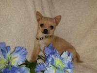"*** JACK ***. Tiny Registered"" Teacup Size"" fawn"