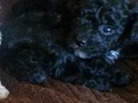 Gorgeous little black teacup poodle with a little tiny