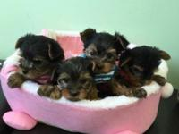Beautiful Yorkie puppies, 1 Male and 3 females, teacup