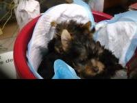 Animal Type: Dogs Breed: yorkshire terrier Our