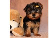 They are Male and female Teacup Yorkie Puppies