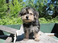 Lovely teacup Yorkiepoo Puppy. He is 8 weeks old. He is