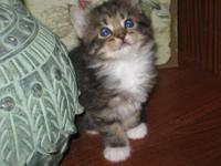 I have 5 gorgeous Maine Coon kittens that are 11 weeks