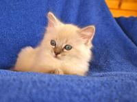 Lovely TICA Ragdoll kittens, well interacted socially,