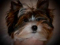 This stunning little AKC Parti Yorkie female puppy is
