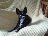 I have a gorgeous male Chihuahua Puppy left from a