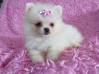 I have 2 Gorgeous tiny teacups Pomeranian puppy