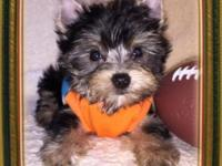 Gorgeous! TIny CKC Teacup Yorkie boys chocolate