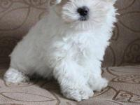 2 months old gorgeous maltese poodle puppy,They will be