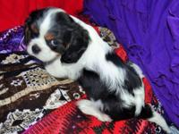 AKC Cavalier King Charles Spaniel, Tri-colour, 8 weeks