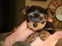 Gorgeous Tiny Yorkie Puppies For sale. Very Playful and