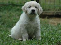 100 % English Creme Golden Retriever Male Puppies