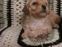 Stunning household raised Toy/Mini Poodle puppies