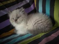 EXTREMELY GORGEOUS BLUE POINT CFA HIMALAYAN MALE KITTEN