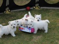 ** Gorgeous Westies Puppies ** NOW AVAILABLE VIA: (313)