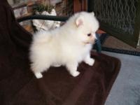 Purebred Pomeranian Puppy White $1000 and cream $925