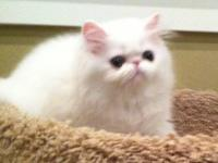I have available a beautiful white Persian female