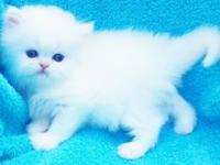 We have actually avail., Two odd eye white Persian