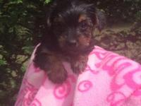 Yorkie female sweet girl 8 weeks ready for her forever