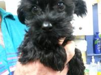 Pick of the litter - Small male Yorkie Poo Puppy, black