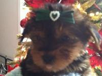 Yorkie female princess beautiful hair ready now for her