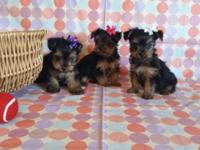 Baby.... YORKIE PUPPIES: male and females available -