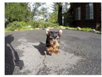 Gorgeous Yorkie puppies Available,  males and  females,