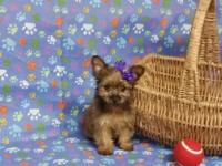 Yorkie Puppy: female, 8wks. old - Had first vaccine,