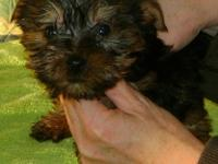 Gorgeous Yorkie Pups For adoption. Very Playful and