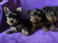 Gorgeous Yorkshire Terrier Puppies Male & Females