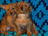 Energetic, enjoyable, liking lovable yorkie puppies.