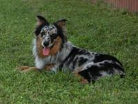 Gorgeous Australian shepherd mix puppies. The dad is a
