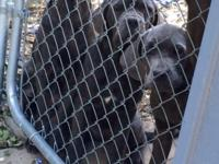 Beautiful Cane Corso puppies ICCF registered with