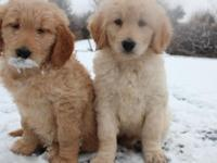 Goldendoodles born in our house behind the Wood Stove,