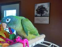 Super tame hand fed blue crown conure, DNA female, she