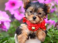 Gorgeous Male and Female Yorkie Pups for adoption(302)