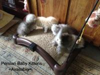 Stunning, healthy Persian infants available to accepted