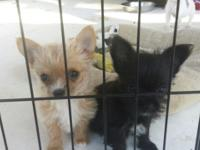 Very Tiny Chorkie Pups..1 male and 1 lady. Puppies will