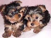 Yorkie Puppies Available , Champion Bloodlines, Home