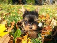 We have tiny baby face AKC registered yorkie girl.At 8