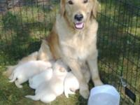I am a breeder for over 20 years and these puppies are