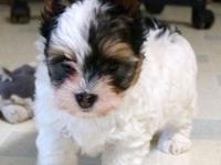 I have 4 gorgious parti male puppies.Born March 9,