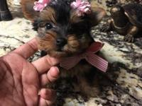 Very Tiny Micro Teacup Pup's,they are all AKC Reg and