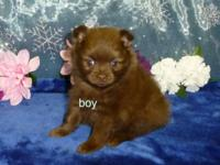 There are 4 very cute puppies, 3/4 pomeranian 1/4 mini