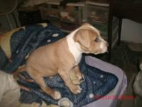 gotti puppy fawn coat, torquise eyes, has tip of his