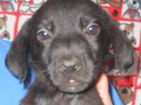 3 year oldUKC blue nose pitbull daughter of PR GOTTYS