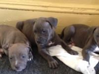 Hello all were Back again blue Rocc kennels bringing