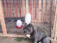 UKC Registered PR American Pitbull Terrier. Pups are 7