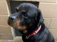 Gotti's story Gotti is a gorgeous, male Rotweiler who